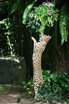 木の幹と緑の森のオオヤマネコ。