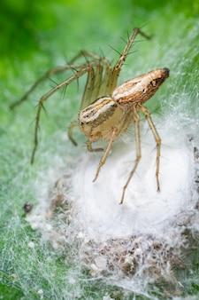 イチジクの葉にササグモ sp 小さなクモと呼ばれるリンクス クモ