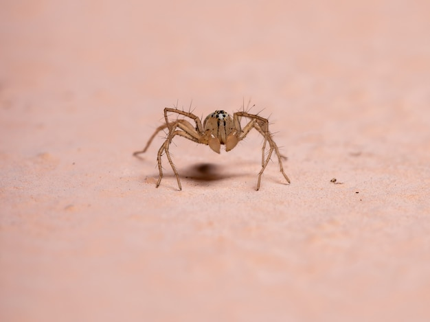 Lynx spider of the genus oxyopes