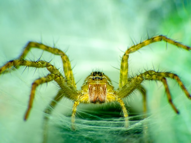 Lynx spider hunter (scientific name oxyopes javanus throll oxyopes linestipes