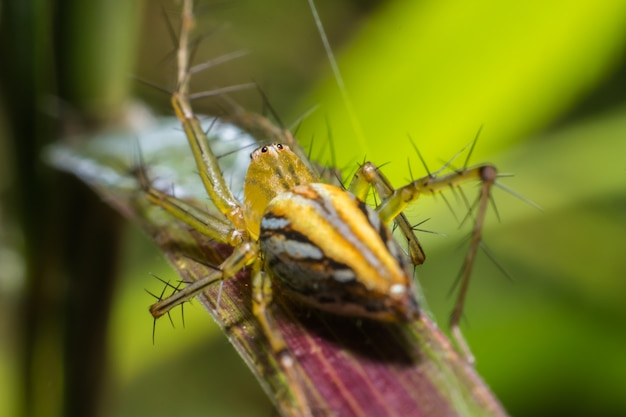 Lynx spider(peucetia viridans green lynx alabama)、マクロビュー