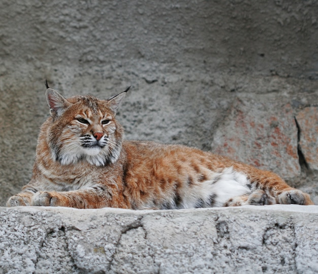 オオヤマネコ、動物園の夏の日