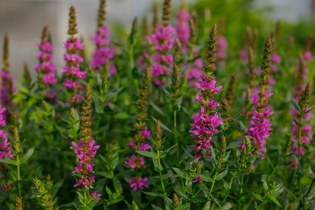 Фиолетовые соцветия вербейника, lythrum salicaria. цветущий пурпурный вербейник растет в саду. цветочный фон летние полевые цветы.