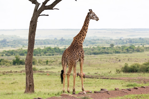 Maasai giraffe stands under a tree