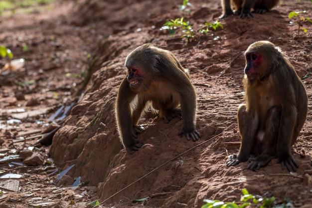 Группа пеньхвостых макак, медведей макак (macaca arctoides) ест и отдыхает тихим солнечным вечером в провинции пхетчабури, кхао капук, кхао тормур, не охота, таиланд