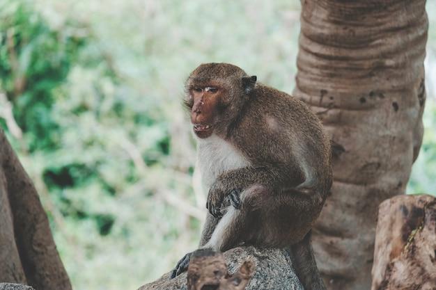 モンキー(カニクイザル、カニクイザル、macaca fascicularis)は、タイのプラチュワップキーリーカンにあるカオタキアップ寺院の木の下に座っています。