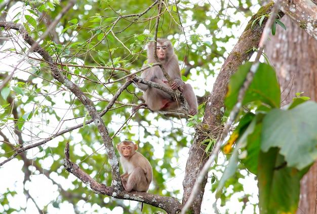 Длиннохвостая макака крабоядная макака macaca flavicularis на дереве