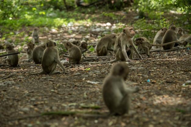 Длиннохвостые макаки (macaca flavicularis) в городском лесу, ратчабури, таиланд