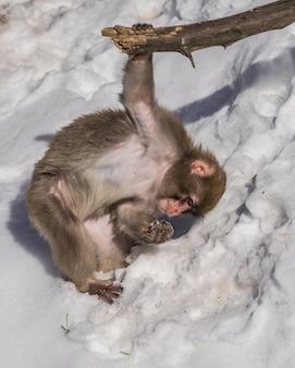 雪で遊ぶ若いニホンザル(macaca fuscata)