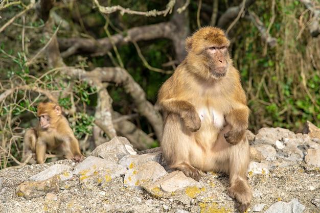 Обезьяна macaca sylvanus в дикой природе на полуострове гибралтар