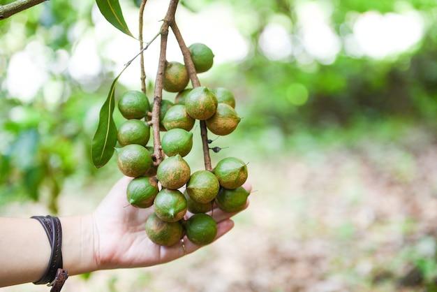 Дерево макадамии на ферме и женщина, держащая орех макадамия