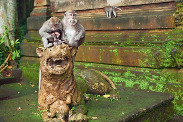 Macaque monkey family with small baby sitting on lion sculpture near temple in sanctuary forest on bali tropical island. travels in asia. indonesian and balinese wildlife background and animal theme.