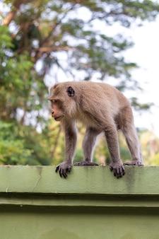 Обезьяна макака гуляет по зеленому забору в тропиках