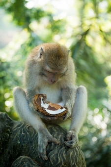 Macaque with coconut
