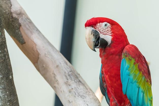 Попугай макао