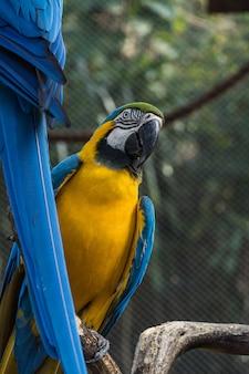 공원 내에서 자유롭게 먹고 날고 있는 잉꼬 caninde. arara caninde는 원래 브라질 출신입니다.