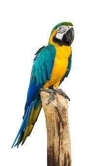 Попугай ара птица