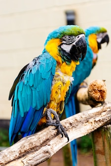 Macaw parrots on branches, blue yellow colorful parrots at the zoo.