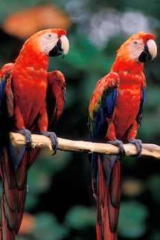 Macaw parrots perching on branch
