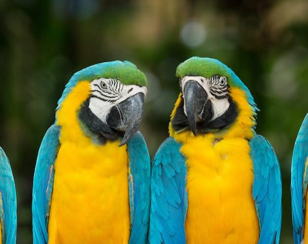 Macaws animal