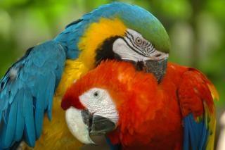 Macaws, parrots