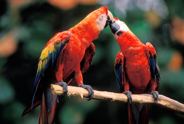 Macaws touching beaks