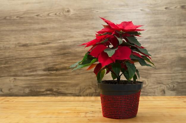 Maceta con flor de pascuas sobre mesa de madera planta aislada