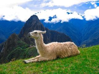 Machu picchu llama  peruvian