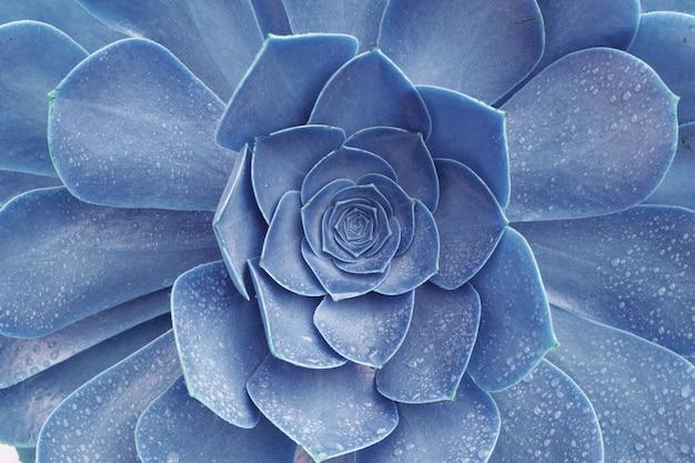 雨の滴-テクスチャ背景、熱帯の葉の背景、美しいディテールと青い多肉植物エケベリア植物のマクロ抽象的なイメージ