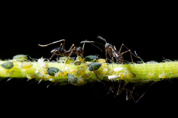 Macro aphids with ants