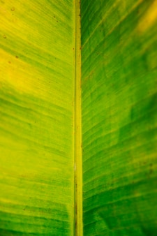 Macro of a banana leaf