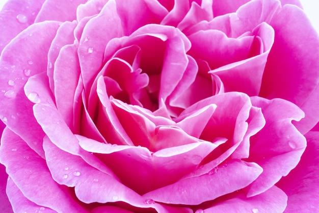 Macro di una bella rosa rosa con gocce d'acqua