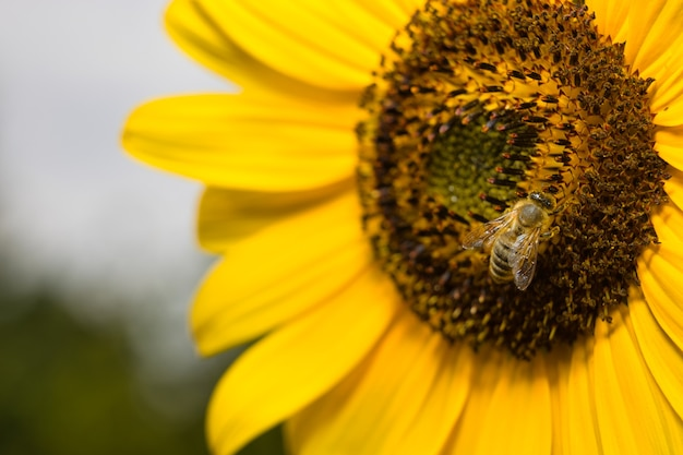 Macro  of a bee on a sunflower (focus on bee) with copy space