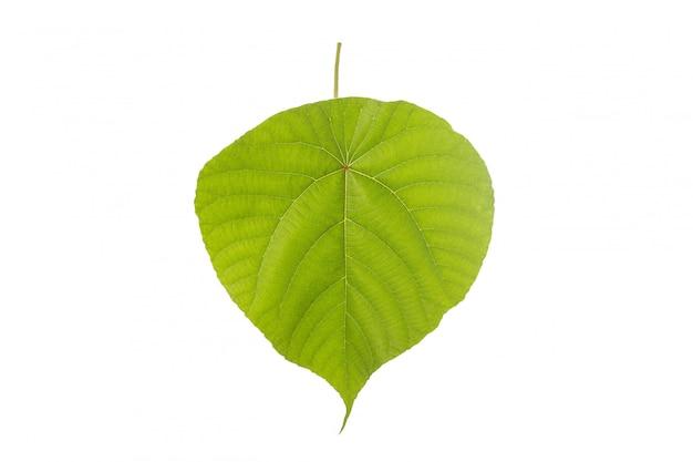 Macro big green tree leaf.