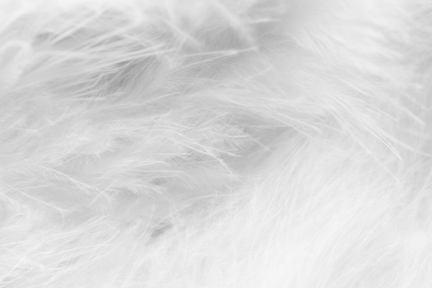 Macro of black and white bird fluffy feathers in blur style for background