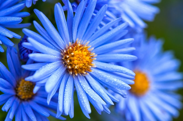 Macro of blue spring flowers with morning dew drops, close up
