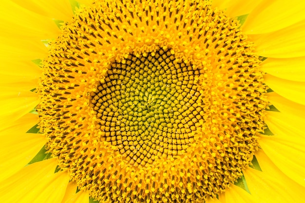 Macro bright yellow sunflower with pollen