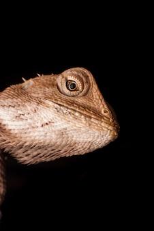 Macro chameleon thailand
