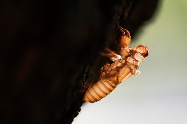 Macro of cicada slough on the tree