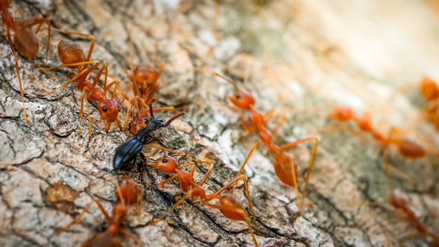 Macro close up ants teamwork are helping to transport foodbehavior of ants
