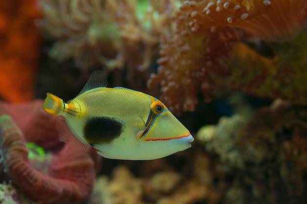 Macro close up of bursa trigger fish. marine fish