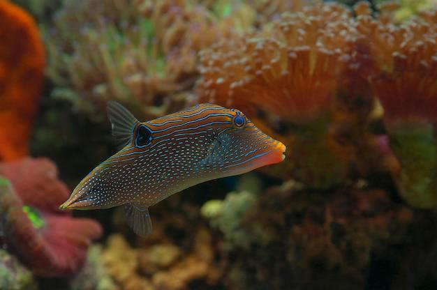 Macro close up of hawaiian blue pufferfish. marine fish