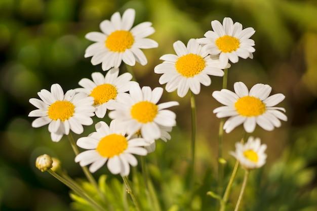 Макрос крупным планом яркие маленькие белые ромашки. понятие о красивой природы, зимний фон.