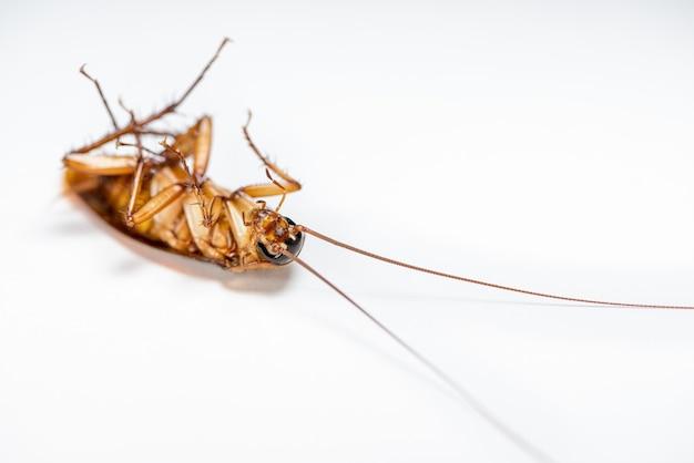 Макро крупным планом, один таракан лежал мертвым изолированным на белом фоне, маленькое коричневое насекомое с крылом, животное, которое грязное, омерзительное, жуткое, тревожное, уничтожающее и заразное, борьба с вредителями с копией пространства