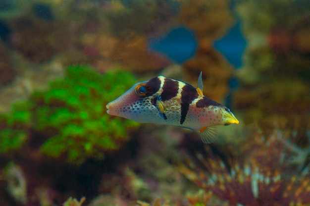 Macro close up of valentini pufferfish. marine fish