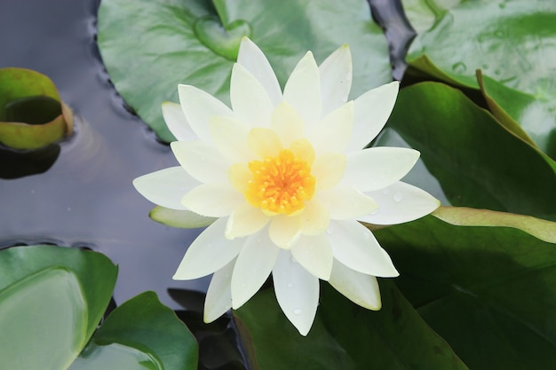 Macro close up white yellow lotus flower or weter lilly