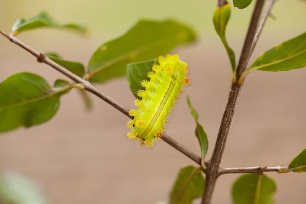 Macro closeup of a green io moth caterpillar
