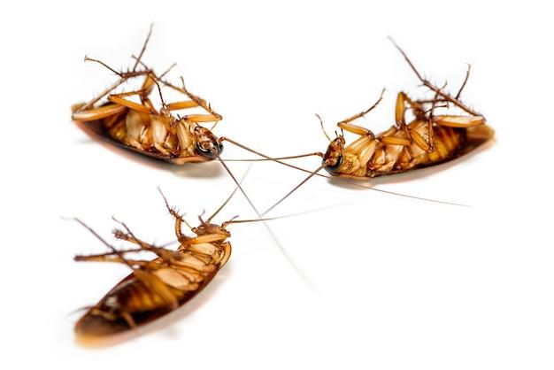 Макро крупным планом, многие тараканы лежали мертвыми изолированными на белом фоне, группа маленьких коричневых насекомых с крылом, животные для борьбы с вредителями, которые являются грязными, отталкивающими, жуткими, беспокоить, уничтожать, заразить для гигиены