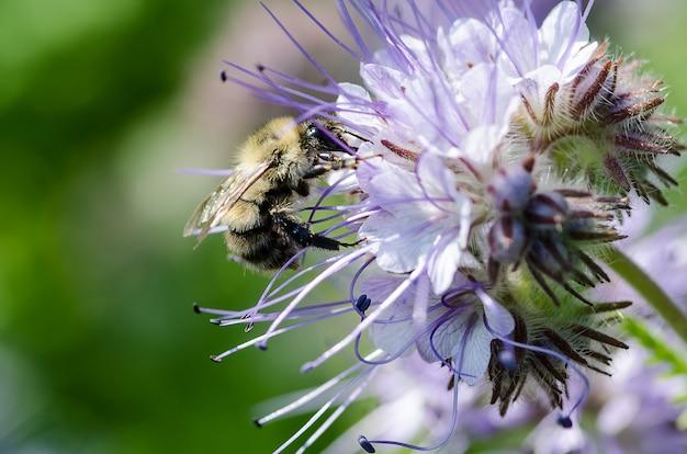 緑肥として知られているカバー作物として農業で使用される蜂蜜の蜜が豊富な蜂の植物として栽培されているファセリアの観賞用の青いラベンダーの密集した花のマクロのクローズアップ