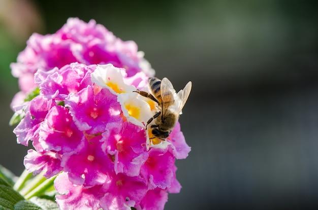 観賞用のカラフルな生垣の花、しだれランタナ、蜂蜜の蜜が豊富な蜂の植物として栽培されているランタナカマラのマクロのクローズアップ